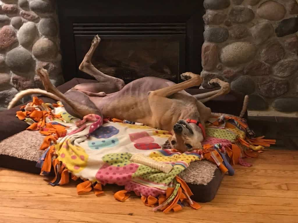 greyhound roaching on his dog bed
